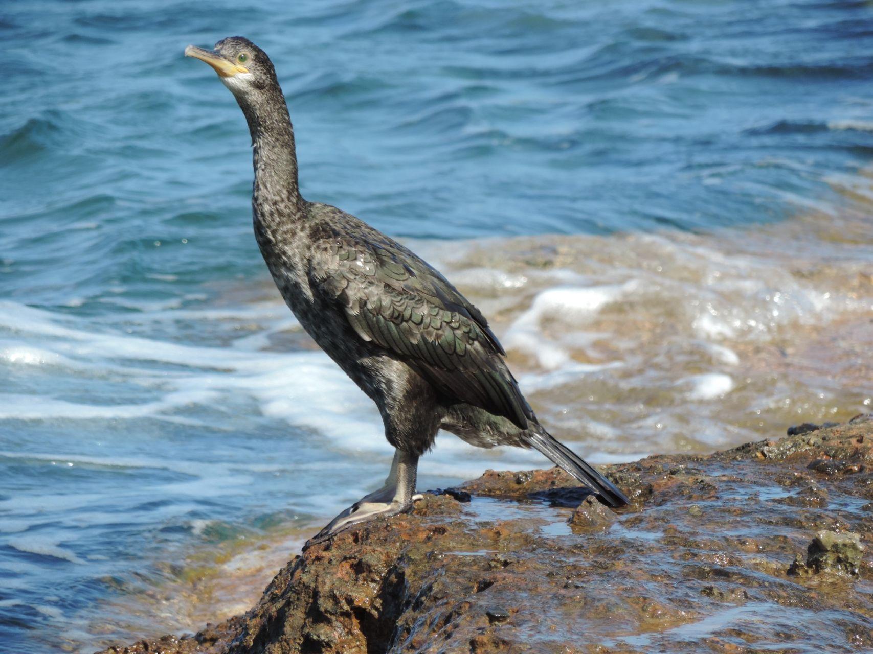 sitia-kormoranos
